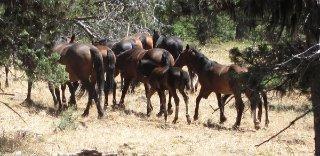 big-summit-wild-mustang-herd20019